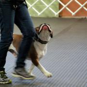 Bella Bulldogges Hooper Tiberius